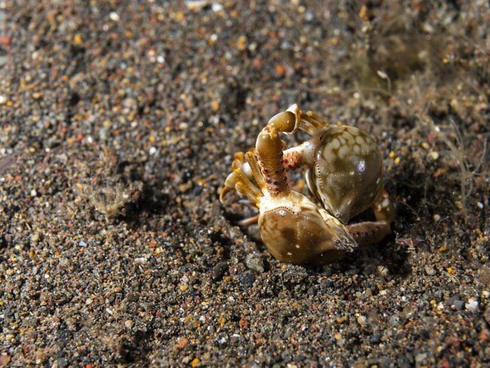 Fighting crabs, Leucosia sp.