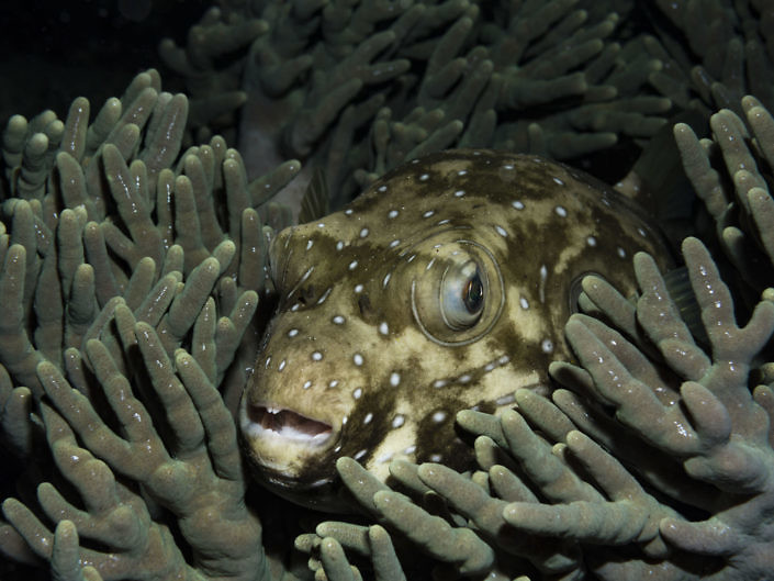 Spotted pufferfish, Arothron hispidus, at night on the reef.