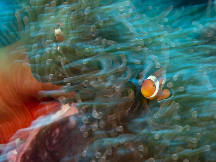 False-clown anemonefish, Amphiprion ocellaris.