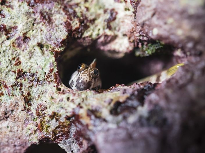 A blenny, Alticus sp., nesting outside the water, in a limestone crack