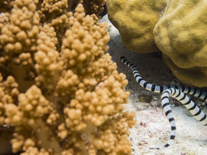 Sea krait looking for food on the reef.