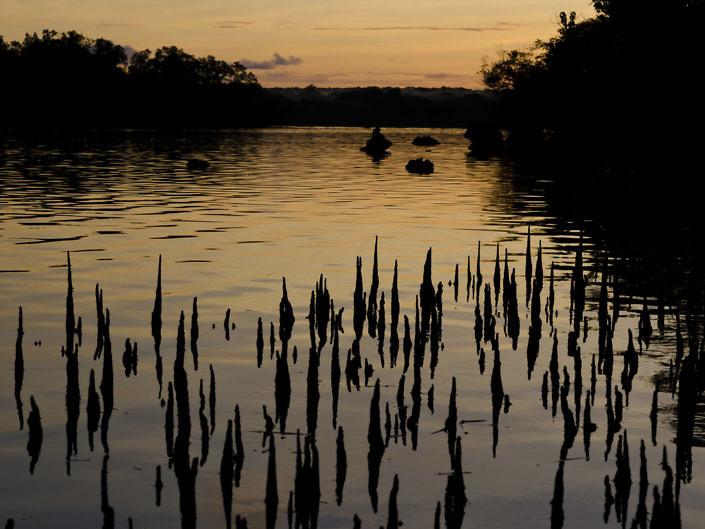 Mangrove pneumatophores at sunset