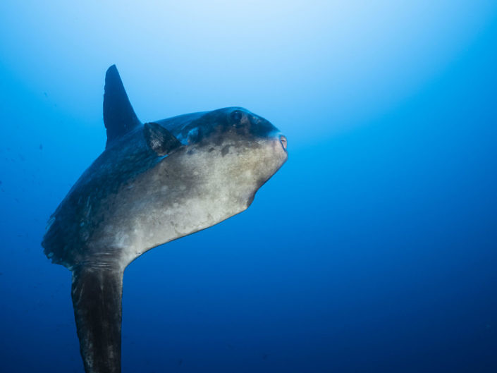 Bump-head sunfish, Mola alexandrini.