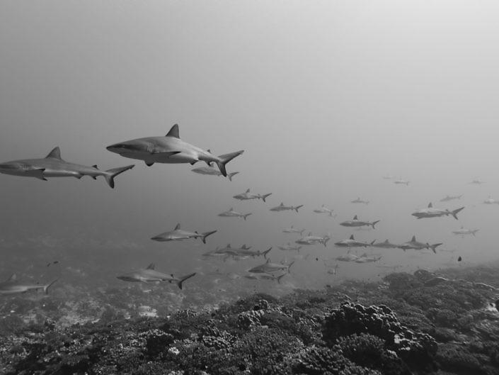 Grey reefsharks, Carcharhinus amblyrhynchos, peacefully gliding along the reef in French Polynesia.