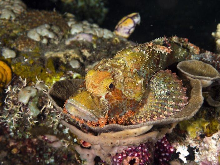 Scorpionfish, Scorpaenopsis sp.