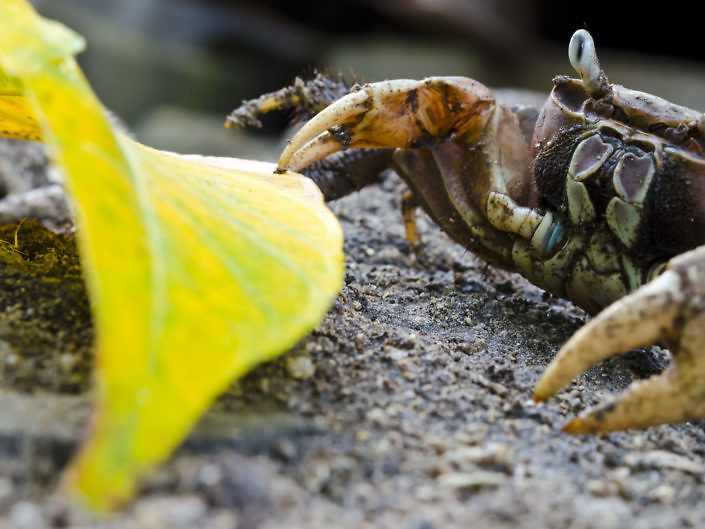 Terrestrial brown land crab, Cardisoma carnifex, looking for a meal.