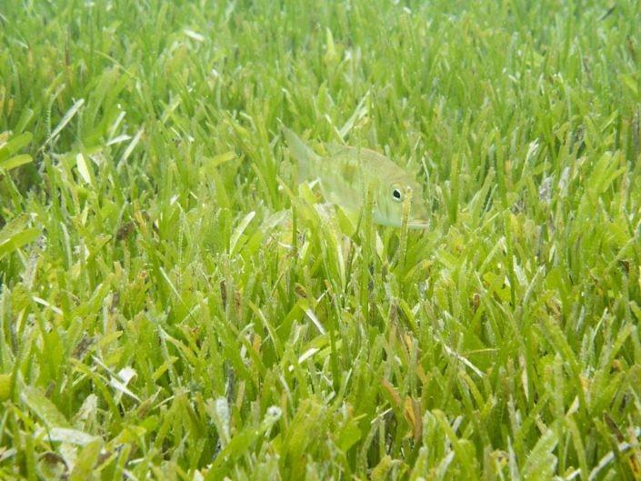 Emperor fish hidden within seagrass.