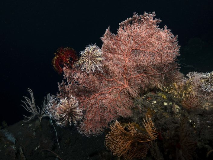 Gorgonian & crinoids in the mesophotic zone in Indonesia.