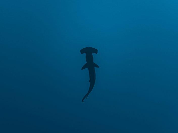 Scalloped hammerhead shark, Sphyrna lewini.