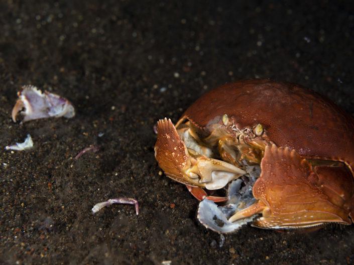 Feeding Giant box crab, Calappa calappa.